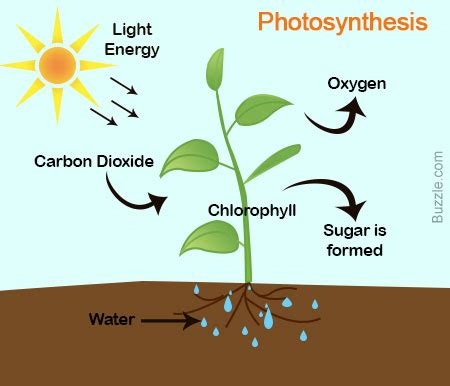 Photosynthesis Essays and Research Papers StudyModecom