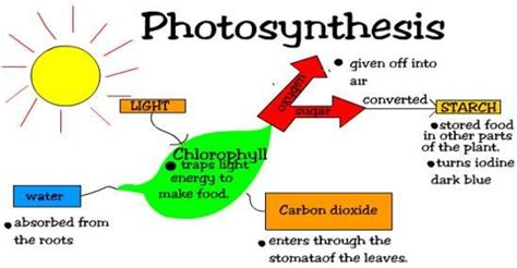 Essays process photosynthesis